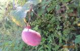 秦嶺裡的這種野果 只有在八月才有 不認識的人就會錯過這種美味