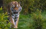 弱肉強食,印度老虎捕食豹子場面震撼!