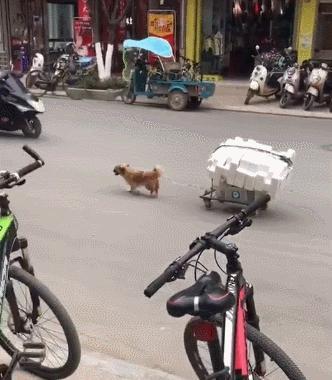 狗狗小小的身軀,卻承受著生活的重擔,網友:窮人家的狗子早當家