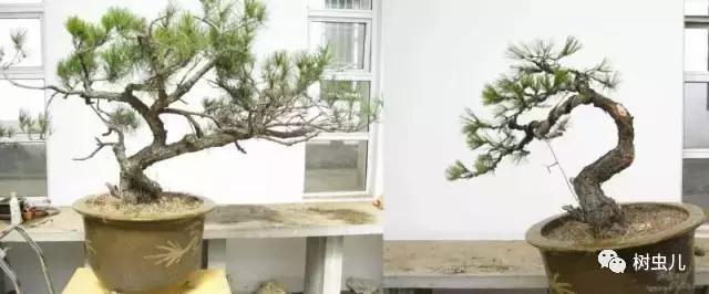 如何製作松柏盆景?