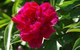 植物花卉:芍藥
