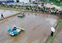 直播水稻和移栽水稻哪種方法產量更高?