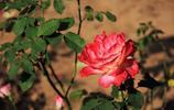 玫瑰玫瑰,心中的那朵玫瑰花