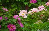 濟南泉城公園牡丹花開正豔,富貴滿園等你來賞花