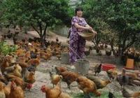 一隻雞的壽命有多長?如果一直不吃的養下去,會是什麼結果?