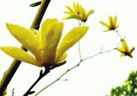 黃玉蘭花枝招展