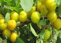 家裡有院子,一定要種一棵這樣的果樹,好吃易成活,水果想吃就吃