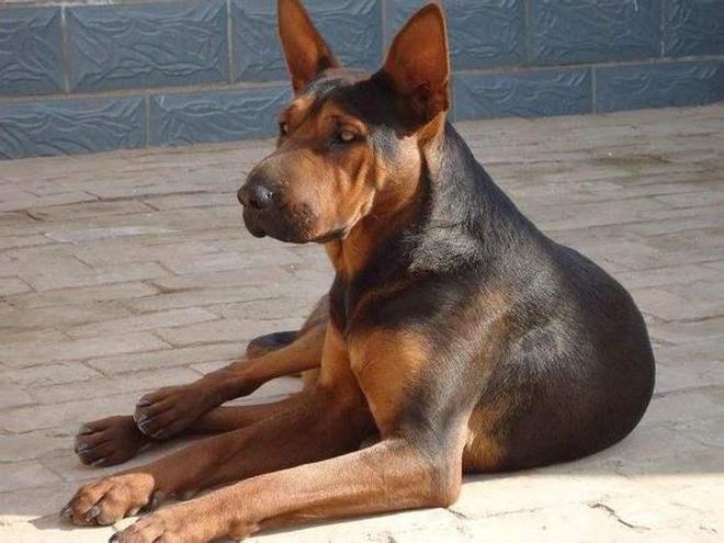 中國紅犬——中國優秀犬種,行動迅猛有力,步伐堅決、爆發力強勁