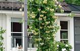 """被稱為""""花中皇后""""的它,是最適合庭院種植的爬藤植物"""