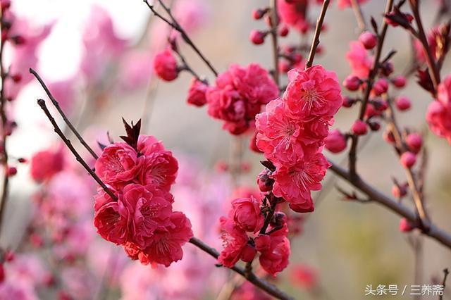 古代詩人,究竟誰最愛桃花?