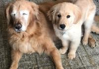 4個月的金毛小奶狗,就成了導盲犬,暖心照顧失明的11歲老狗