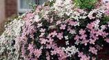 這幾種的爬藤植物花開就爆棚,很簡單就讓陽臺成為小花園