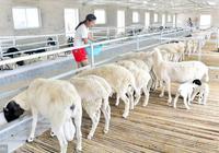 養羊的幾大模式,你知道幾個?