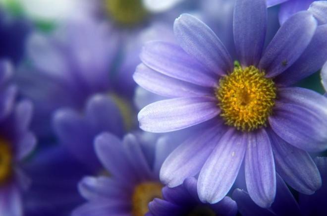 植物圖集:雛菊