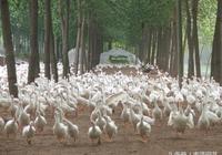 苗圃發展林下養殖可行嗎?