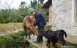 農村74歲老人養牛50多年,竟頭一次遇見這怪事,鄉親們開車看稀罕