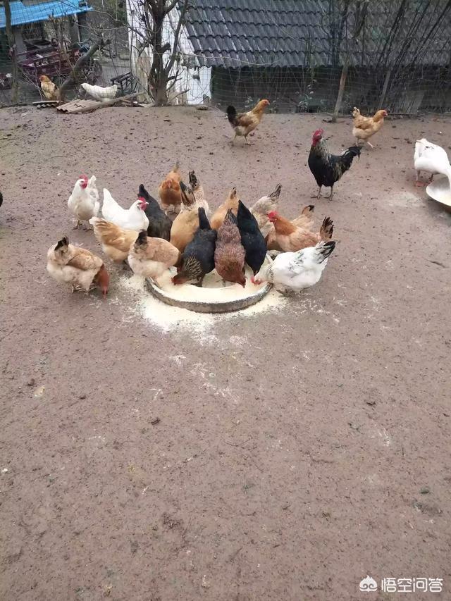 小麥養雞好?還足稻穀養雞好?