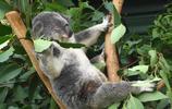 動物高清圖集:毛茸茸的樹袋熊(考拉)