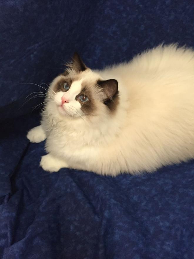 布偶貓是您的靈魂伴侶