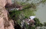 全國唯一在懸崖峭壁上棲息繁殖的蒼鷺種群,營巢孵卵,已孵出雛鳥
