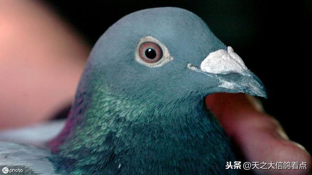 賽鴿疾病的初步診斷