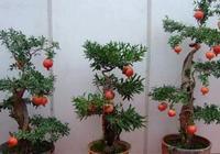 1種水果籽,埋土裡,10天發芽成果樹,紅花特好看,果子長滿枝