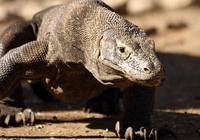 被科莫多巨蜥咬一口,人類的身體會發生怎樣的變化?