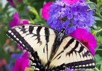 蝴蝶為花碎,花卻隨風飛