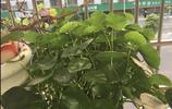 隨便一個葉子就有巴掌大,這銅錢草養出了荷花的感覺,也是沒誰了