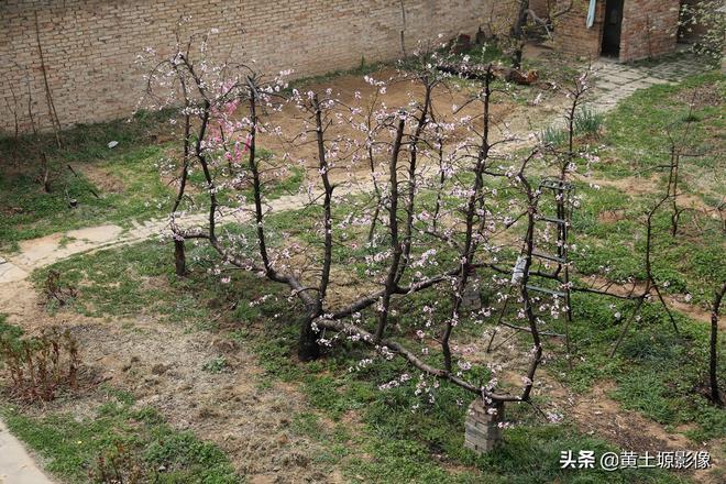 """82歲老人院子裡一株桃樹上長出了13棵桃樹,開花似""""孔雀開屏"""""""