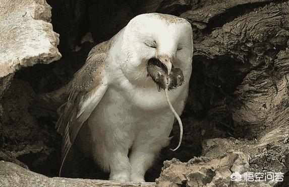 農村老人說:小貓頭鷹在長大了會吃掉母貓頭鷹,這是真的嗎?為什麼貓頭鷹越來越少了?