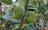 80歲老人16年前院子裡種了棵果樹,結的果實能抗癌能治病,啥東西