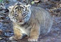 虎犢子初成長模樣超凶的,你這是在為難我胖虎!凶肥的真·胖虎!