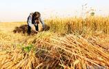 走進全國小麥第一縣麥收現場,這些熟悉場景中怎麼沒有他們的身影