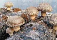 馮琪平創業種植蘑菇,日產值2萬元,帶領農戶發家致富
