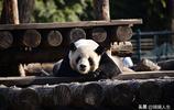 """京城氣溫回暖,大熊貓室外晒太陽的姿勢""""逗""""化了遊客的心"""