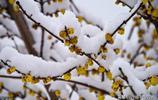 臘梅在雪中傲放,成為一道美麗的風景