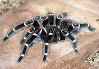 世界上最毒的蜘蛛(圖文)