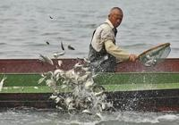近兩萬公斤魚苗放流澱山湖,放生不等同於放流或危害生態環境