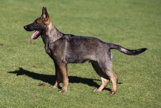 地球上3大最威猛的軍犬品種,中國昆明犬上榜,你見過嗎?