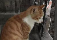 鏟屎官帶橘貓爬樓梯,貓咪偷懶被當場抓住