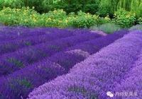 薰衣草的花語是什麼?有人喜歡薰衣草嗎?