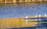 甘肅張掖,春水盪漾鳥飛翔(攝影:陳禮)