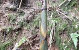 農村山裡的小筍,經過擂缽,只放鹽跟辣椒就是一道農家美味!