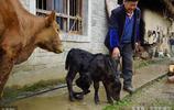"""你見過6條腿2個屁股的牛嗎?74歲農民家被四里八鄉當了""""動物園"""""""