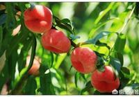 如何種植蟠桃?