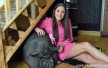 女子鉅款購迷你豬,兩年長成龐然大物