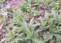 哪種除草劑能根除刺兒菜和田旋花?