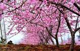 恭城萬畝桃花盛開