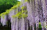 這8種花現在種下去夏天就能爬藤,陽臺瞬間變成小花園